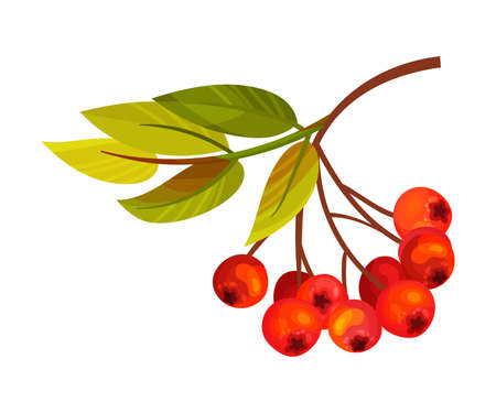 Ashberry Branch with Berry Clusters and Pinnate Leaves Vector Illustration Ilustração
