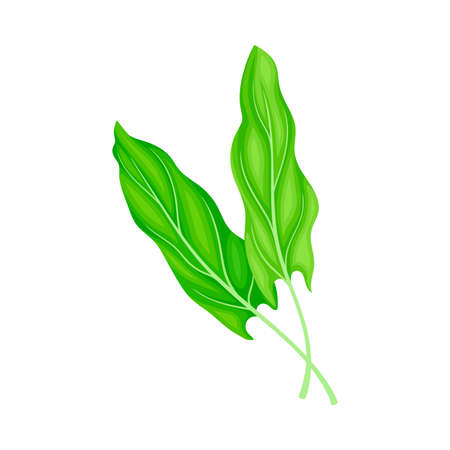 Leaf Vegetable or Salad Greens as Plant with Edible Leaves Vector Illustration 向量圖像