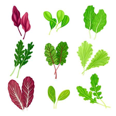 Salad Leaves with Rocket Salad and Spinach Vector Set Illusztráció