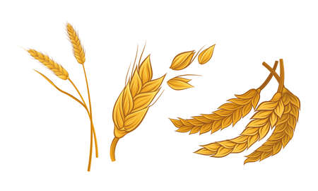 Ear of Wheat as Grain-bearing Stem of Cereal Plant Vector Set 向量圖像