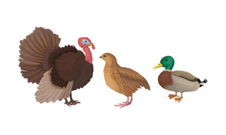 Feathered Turkey and Duck as Farm Bird Walking in Yard Vector Illustration Set