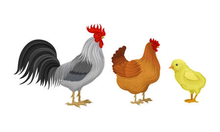 Feathered Cockerel and Hen with Chicken as Farm Bird Walking in Yard Vector Illustration Set