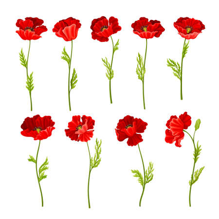 Red Poppy as Herbaceous Flowering Plant on Stem Vector Set Ilustrace
