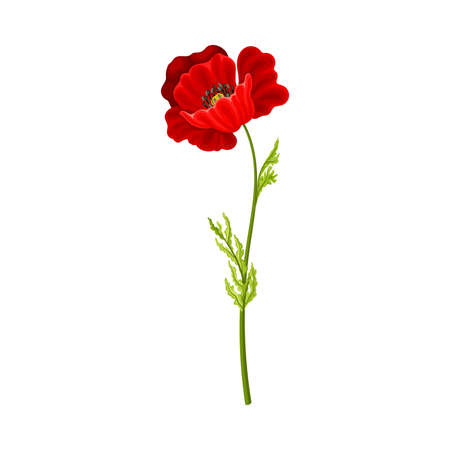Scarlet Poppy as Herbaceous Flowering Plant on Thin Stem with Green Leaves Vector Illustration Ilustrace