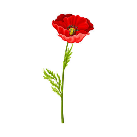 Scarlet Poppy as Herbaceous Flowering Plant on Thin Stem with Green Leaves Vector Illustration Иллюстрация