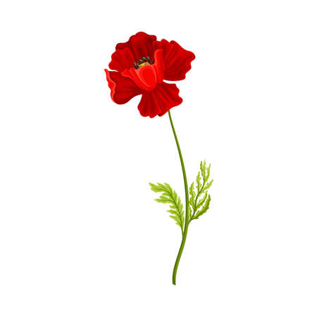 Red Poppy Flower with Showy Petals Isolated on White Background Vector Illustration Ilustrace