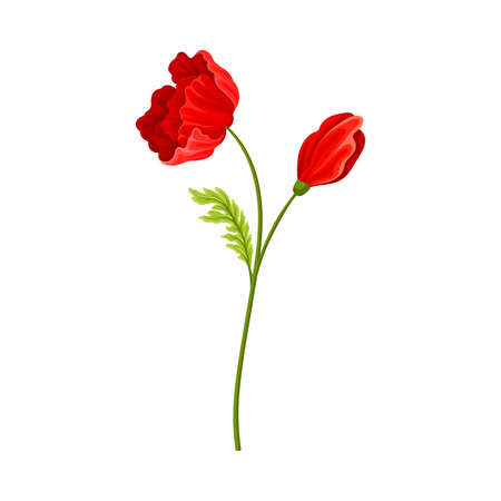 Bright Poppy with Showy Petals on Green Stem Vector Illustration Ilustrace