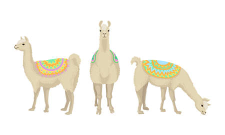 White Wooly Llama or Alpaca as Domesticated South American Camelid Vector Set Ilustração