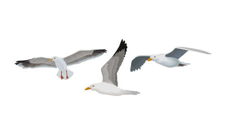 White Gulls or Seagulls as Seabirds with Black Markings on Wings Vector Set Illustration