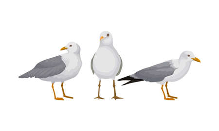 White Gulls or Seagulls as Seabirds with Black Markings on Wings Vector Set Ilustração