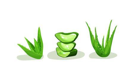 Aloe Vera Rosette of Large, Thick, Fleshy Leaves Vector Set