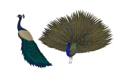 Peafowl or Peacock as Bird Specie with Extravagant Plumage Vector Set