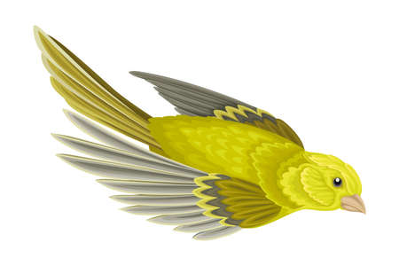 Greenfinch as Warm-blooded Vertebrates or Aves with Feathers and Toothless Beaked Jaw Vector Illustration