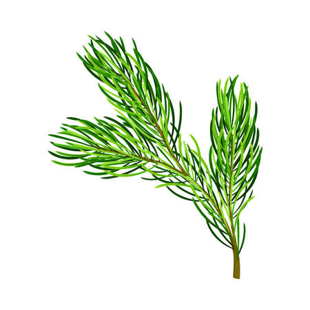 Fluffy Branch of Evergreen Pine Tree with Needle Leaves Vector Illustration