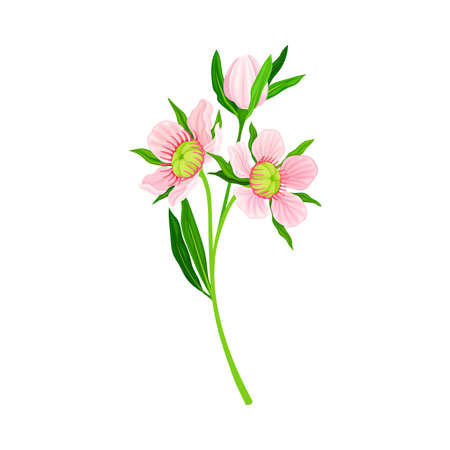 Manuka or Tea Tree Pink Flower with Five Petals on Tall Leafy Stem Vector Illustration