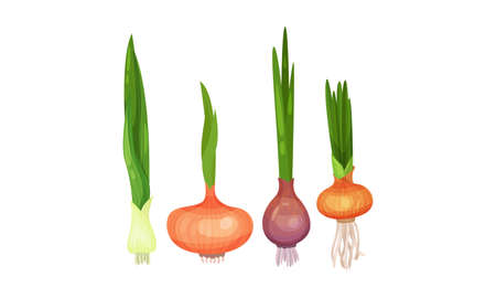 Onion Bulbs with Stalk as Cultivated Vegetable as Savory Dish Ingredient Vector Set