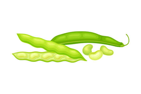 Green Open Pod with Kidney-shaped Beans or Seeds as Vegetable Crop Vector Illustration
