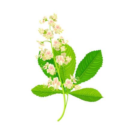 Chestnut Plant Blossoming White Flowers with Pink Blotch on Petals and Palmate Leaf Vector Illustration Ilustração