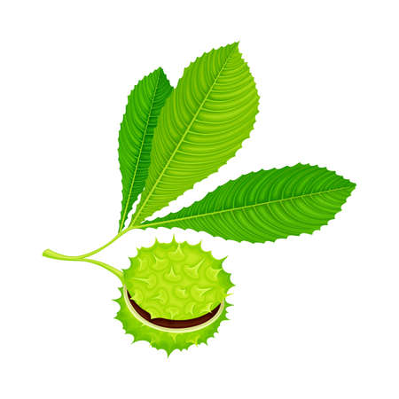 Green Chestnut with Palmate Leaves and Brown Fruit in Spiky Capsule Vector Illustration