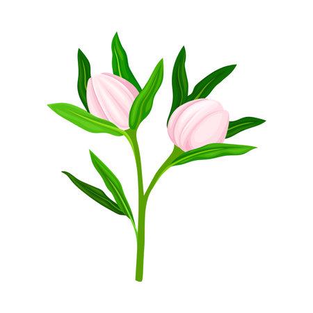 Closed Flower Bud of Manuka Flowering Plant Vector Illustration