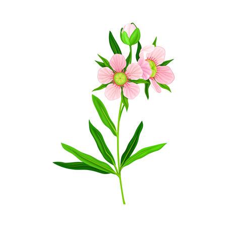 Manuka or Tea Tree Pink Flower with Five Petals on Tall Leafy Stem Vector Illustration 向量圖像