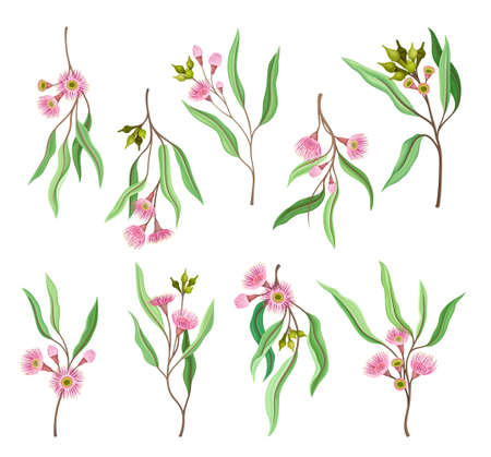 Eucalyptus Flowering Tree Branch with Narrow Leaves and Pink Bud with Fluffy Stamens Vector Set