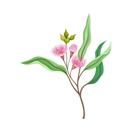 Branch of Eucalyptus Plant with Woody Fruits or Cone-shaped Capsules Vector Illustration Ilustração Vetorial