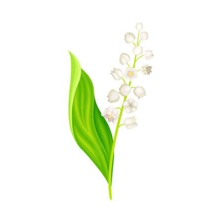 Lily of the Valley with Pendent Bell-shaped White Flowers Vector Illustration Ilustração