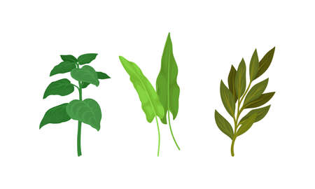 Aromatic Herbs with Sage for Flavoring and Garnishing Food Vector Set
