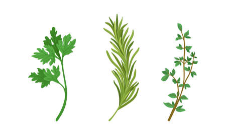 Aromatic Herbs with Parsley and Rosemary for Flavoring and Garnishing Food Vector Set 向量圖像
