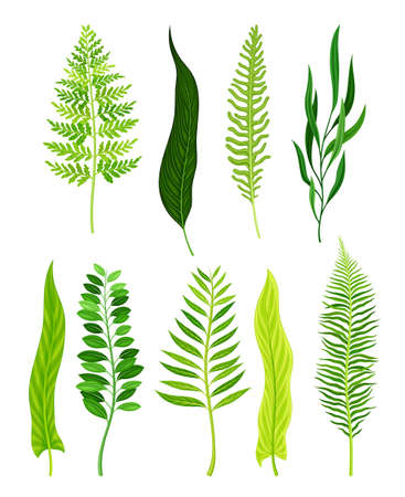Green Fern as Vascular Plant with Stem and Complex Leaves Vector Set