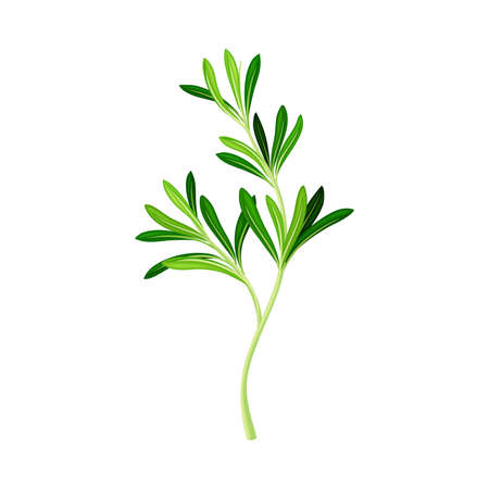 Green Rosemary Twig as Perennial Herb with Fragrant, Evergreen, Needle-like Leaves Vector Illustration Ilustração