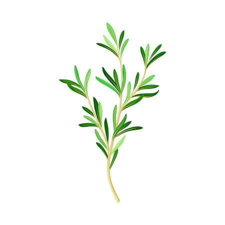 Fragrant Branch of Rosemary Perennial Herb with Evergreen Needle-like Leaves Vector Illustration