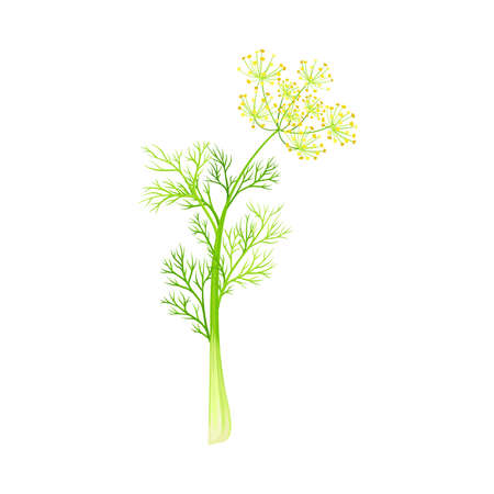 Fennel as Flowering Plant Specie with Yellow Flowers and Feathery Leaves Vector Illustration Vektorgrafik