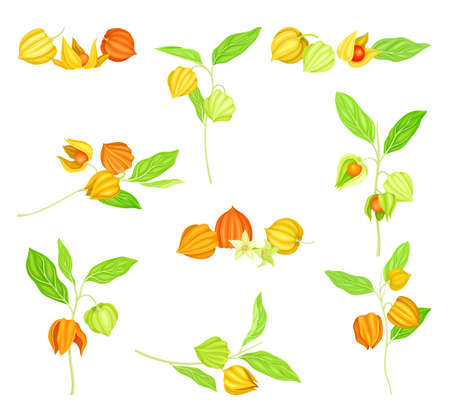 Ashwagandha or Indian Ginseng as Perennial Specie with Elliptic Leaves and Bell-shaped Flowers Vector Set