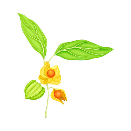 Indian Ginseng or Ashwagandha Plant with Hanging Papery Green Calyx Enclosing Fruit Vector Illustration