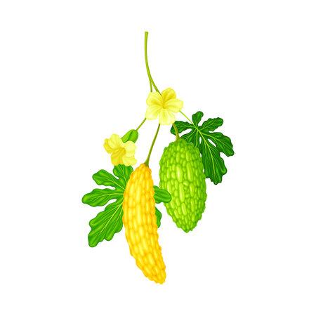 Momordica Charantia or Bitter Melon as Tropical Edible Fruit Vector Illustration