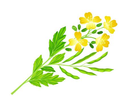 Mustard Flowering Plant Specie with Yellow Flowers Vector Illustration Ilustracje wektorowe