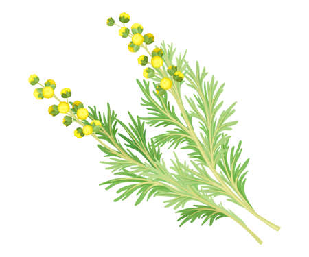 Wormwood or Southernwood Plant with Feathery Leaves and Small Yellow Flowers Vector Illustration