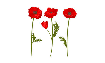 Scarlet Poppy as Herbaceous Flowering Plant on Thin Stem with Green Leaves Vector Set