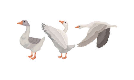 Goose as Waterfowl Specie with Long Neck and Orange Bill in Different Pose Vector Set