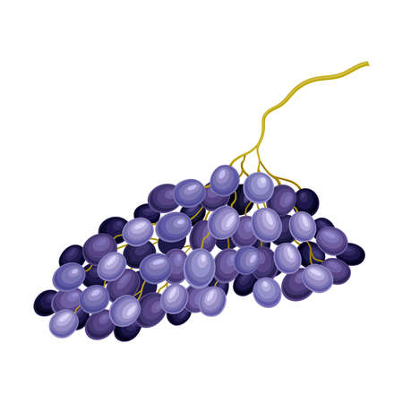 Dark Blue Grape with Ellipsoid Berries Growing in Cluster Vector Illustration