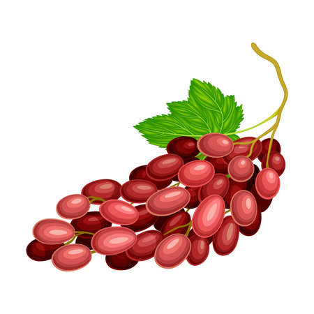 Red Ellipsoid Berries of Grape Growing in Cluster Vector Illustration