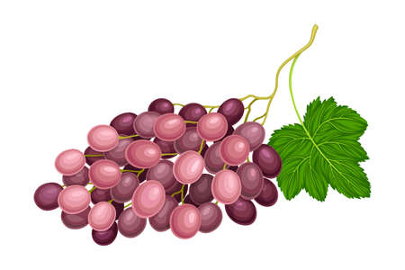 Ellipsoid Lying Berry Cluster of Purple Grape Vector Illustration