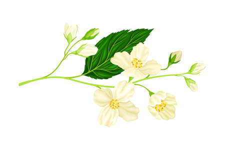 Branch of White Jasmine Fragrant Flowers on Stem with Green Leaves Closeup View Vector Illustration