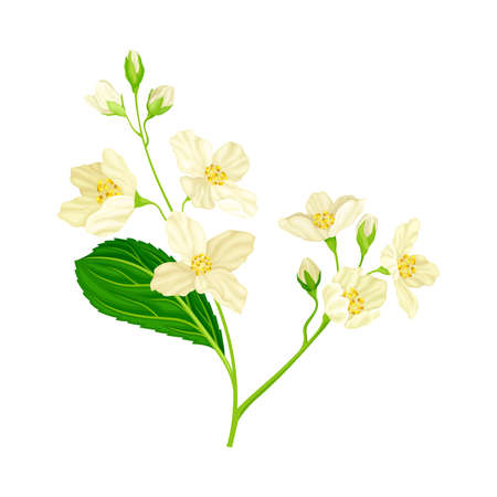 White Fragrant Jasmine Flowers on Stem with Green Leaves Closeup View Vector Illustration
