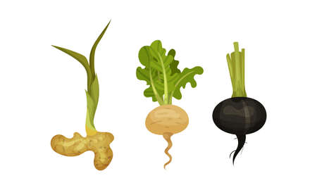 Root Vegetables as Underground Plant Part with Ginger and Turnip Vector Set