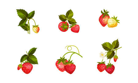 Garden Strawberry Branches with Whole Red Berries Vector Set