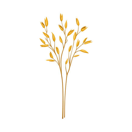Oat as Grain Crop or Cereal Specie and Cultivated Grass on Stalk with Inflorescences Vector Illustration