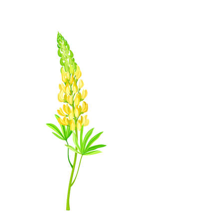 Yellow Lupinus or Lupine Dense Flower with Palmately Green Leaves on Erect Stem Vector Illustration
